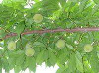 桃の仕上げ摘果