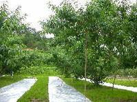 桃の反射材設置