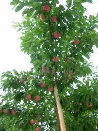 桃の収穫直前