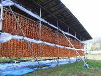 あんぽ柿の干し場風景