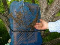 日本蜜蜂(ニホンミツバチ)の分蜂