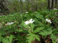 ニリンソウの花