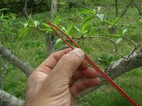 桃にフェロモン剤を設置