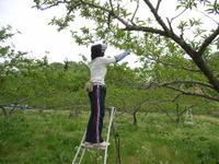 桃の予備摘果