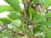 桃の予備摘果2