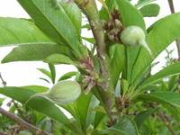 桃の予備摘果3