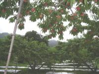 収穫期の桃畑