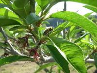 桃の葉とニホンミツバチ