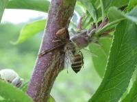 クモに捕食されたニホンミツバチ