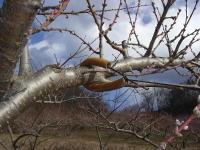 桃の枝の誘引