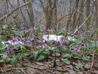 女神山のカタクリの花