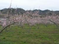 5分咲きの桃