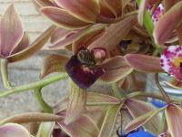 ミスマフェットの花に入り込むニホンミツバチ