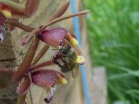 背中にミスマフェットの花粉塊を付けたニホンミツバチ
