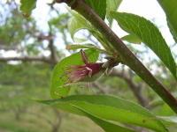予備摘果時期の桃の実