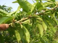 桃の予備摘果(長果枝)