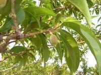 桃の予備摘果(短果枝)